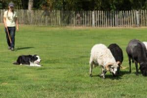 Haustiershow mit Schafe Hüten