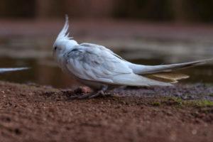 Nymphensittich im Vogelpark