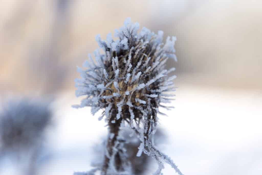 Distel im Winter