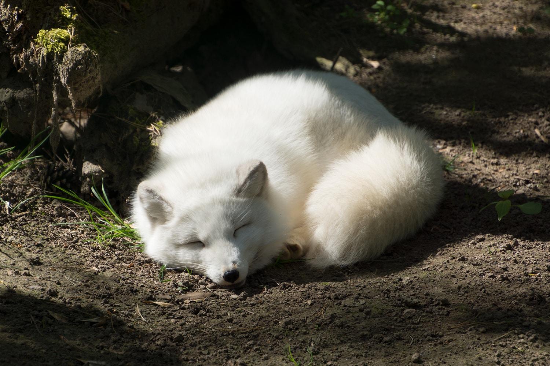 Polarfuchs Zoo Rostock