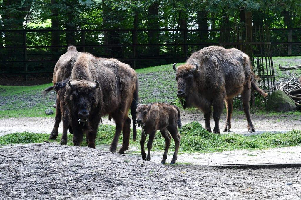 Wisente im Zoo Rostock