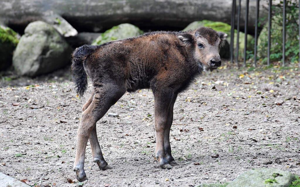 Name für Wisent im Zoo Rostock