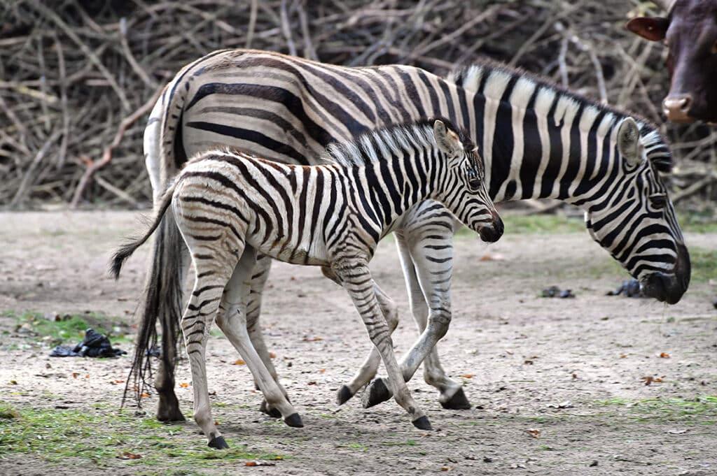 Name für Zebra grsucht