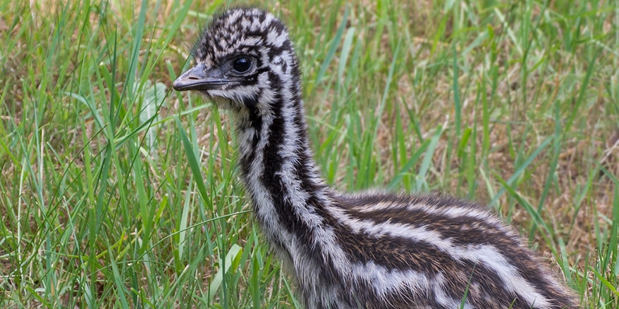 Emu Kücken