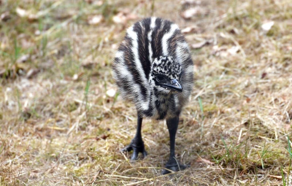 Emu Nachwuchs Zoo Rostock
