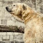 Baer_Zoo_Rostock