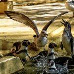 Möwe streitet sich mit Pinguine im Zoo Rostock