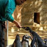 Humboldtpinguin frisst aus der Hand