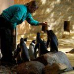 Frischer Fisch für Pinguine im Zoo Rostock