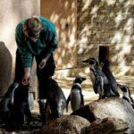 Frischer Fisch für Humboldtpinguine im Zoo Rostock