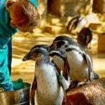 Fütterung der Pinguine im Zoo Rostock 2