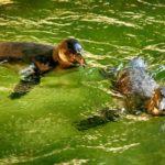 Humboldtpinguine beim schwimmen