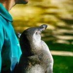 Humboldtpinguin-Männchen im Zoo Rostock genießt die Sonne