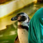 Tierpfleger mit Humboldtpinguin im Zoo Rostock 4