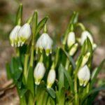 Märzbecher in der Frühlingssonne