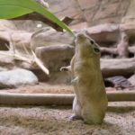 Gundi im Zoo Rostock